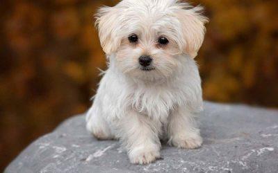 Chó Thay Lông Trong Bao Lâu? Những Điều Cần Lưu Ý Cho Người Mới Nuôi Thú Cưng