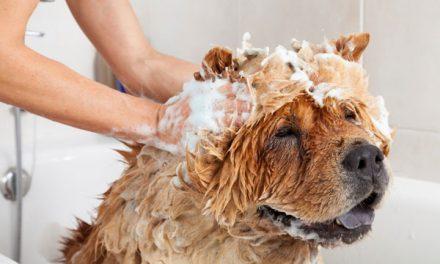 Cách Tắm Cho Chó Luôn Sạch Sẽ, Thơm Tho