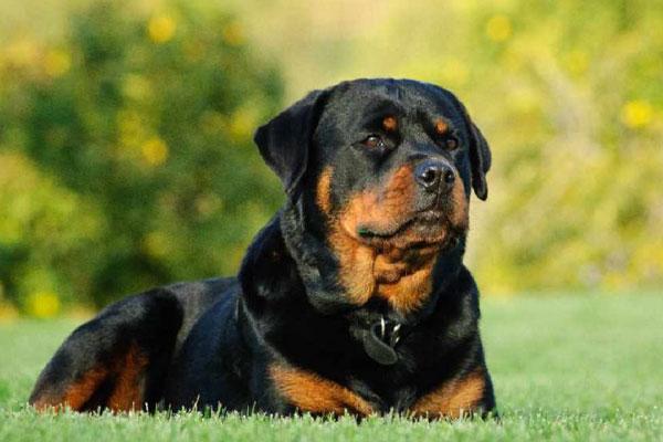 Chó Rottweiler nhập khẩu