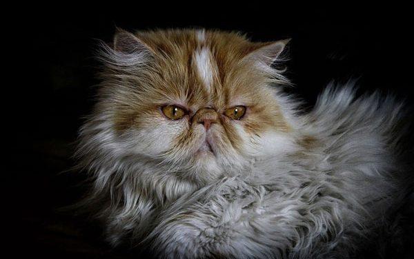 Mèo Ba Tư Có Đặc Điểm GÌ? Mèo Ba Tư Bao Nhiêu Tiền?