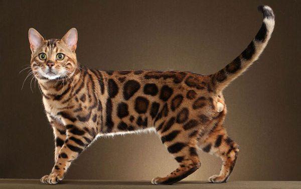 Tìm Hiểu Về Mèo Bengal Và Kinh Nghiệm Chăm Sóc Mèo Bengal