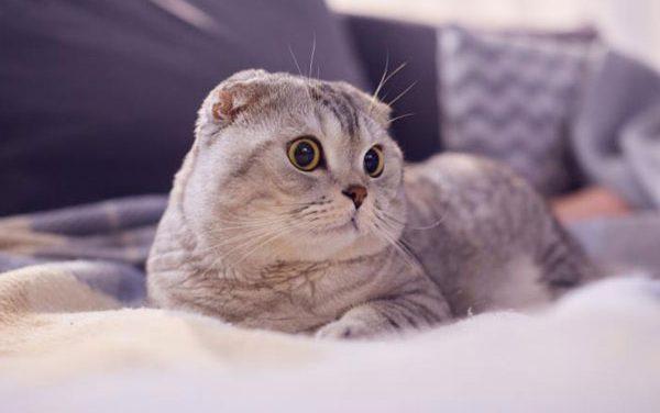 Mèo Tai Cụp Scottish Fold – Nguồn Gốc, Đặc Diểm Và Giá Bán