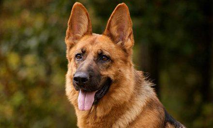 Chó Becgie – Người Bạn Trung Thành Bậc Nhất Của Con Người