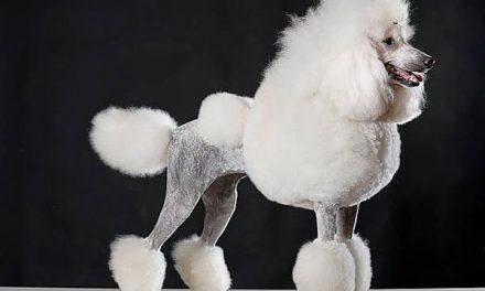 Chó Poodle – Toàn Tập Cách Chăm Sóc Chó Poodle Mới Nhất