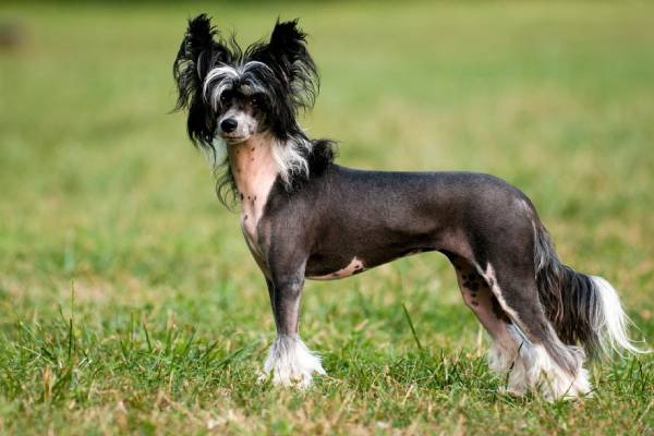 Chó Chinese Crested